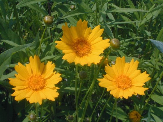 Photo Courtesy of John Hilty http://www.illinoiswildflowers.info/