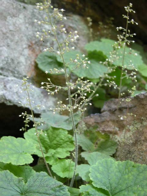 Heuchera parviflora