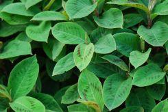 Polygonum virginianum (Persicaria virginiana)