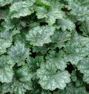 Heuchera longiflora