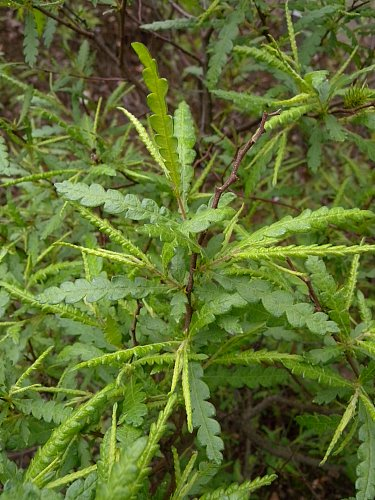 Comptonia peregrine (Myrica asplenifolia)