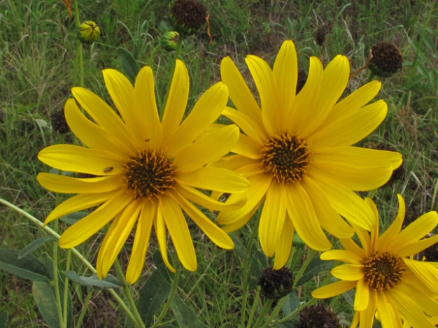 Photo Courtesy of Lady Bird Johnson Wildflower Center http://www.wildflower.org/