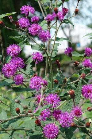Vernonia glauca