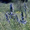 THUMB_Salvia azurea plant LBJ