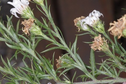 Photo Courtesy of Southeastern Flora http://www.southeasternflora.com/