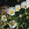 THUMB_Aster pilosus Illinois wildflowers