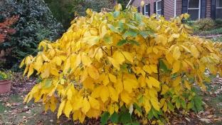 Bottlebrush buckeye fall color