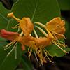 thumb_lonicera flava se flora (2)