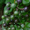 thumb_vitis vulpina grapes illinois wildflowers