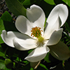 THUMB_Magnolia virginiana flower LBJ