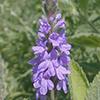 THUMB_verbena stricta floral spike