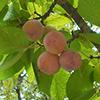 THUMB_Prunus mexicana fruit LBJ